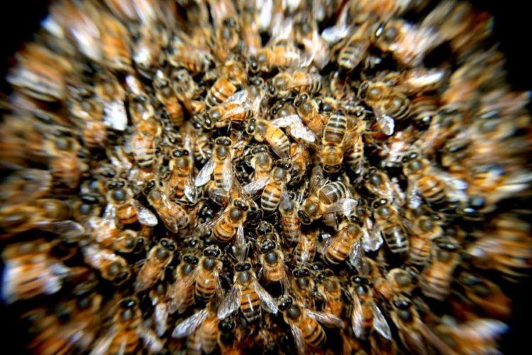 עקיצת דבורה בחלום
