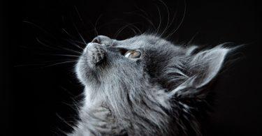 החתול בחלומות